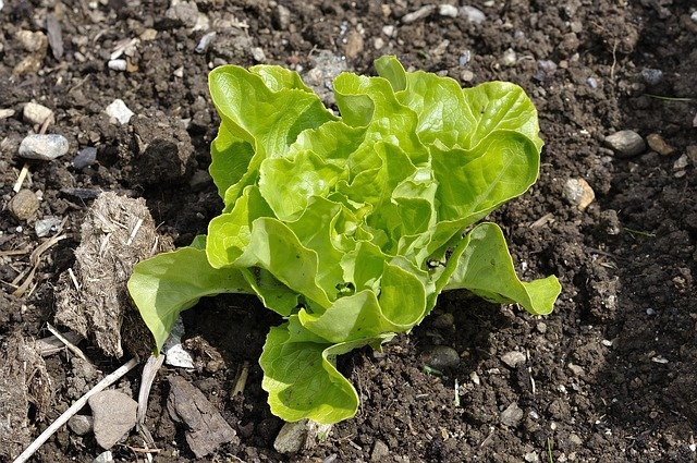 Fall Lettuce crop