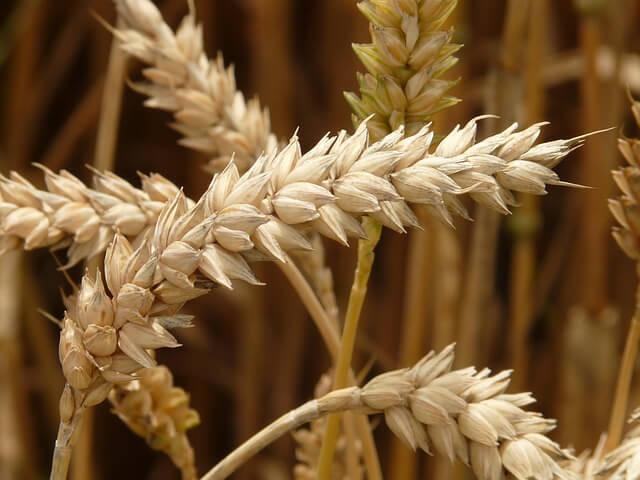 Growing grain