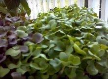 5 microgreens