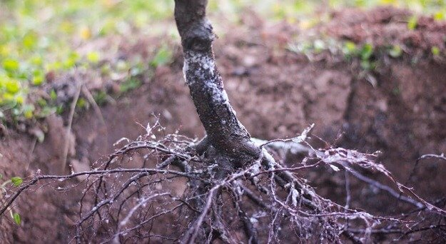 how to plant a bare root tree