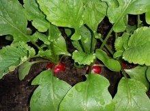 Easiest veggies to grow