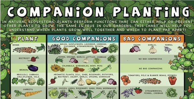 Infographic] Companion Planting Guide - Sustainable Gardening News