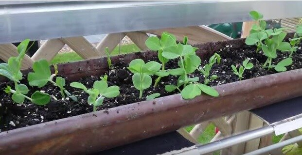 Growing early spring peas