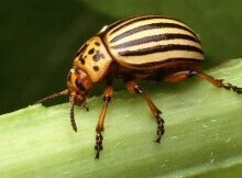 Organic potato beetle control