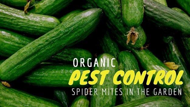 Organic spider mite control