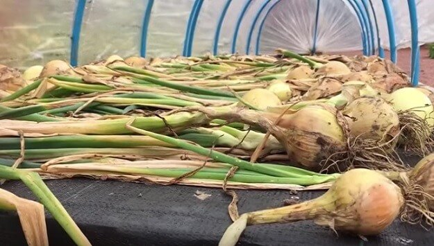 How to harvest & store onions