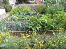 Companion flowers in the veggie garden