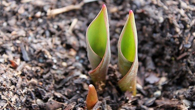 How to plant flowering bulbs