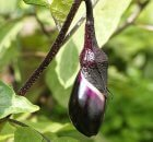 Growing eggplants in containers