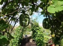 Garden arch for vertical climbing vegetables