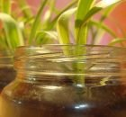 Growing herbs in a mason jar