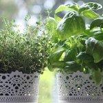 Indoor herb garden choices