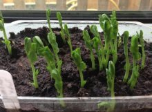 How to grow sprouts & microgreens indoors