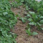 Planting tips for a better potato harvest