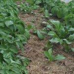 Planting tips for a better potato harvest