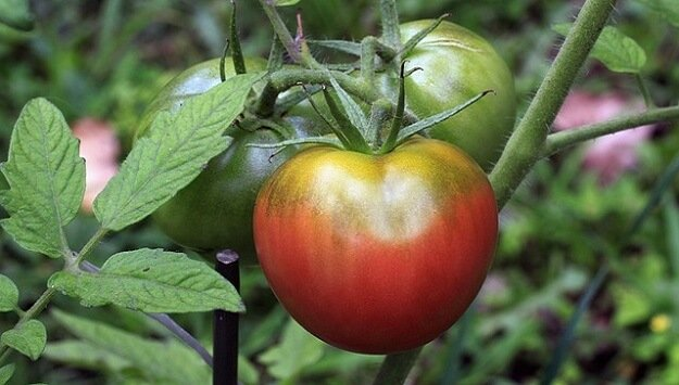 Hybrids versus heirlooms plant varieties
