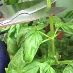 How to maximize your basil harvest