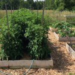 The best way to support tomato plants