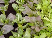 How to grow Oriental fall salad greens