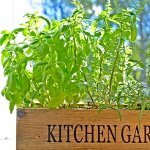 Indoor winter kitchen garden