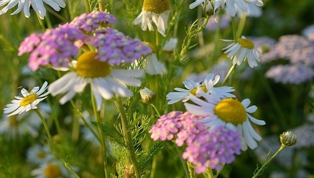 Medicinal herbs to grow in your garden