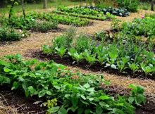 How to grow a low-cost vegetable garden