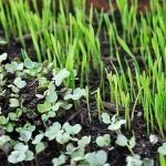 Microgreens varieties to grow indoors