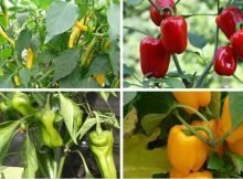How to grow perfect peppers video