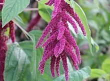 How to grow edible amaranth