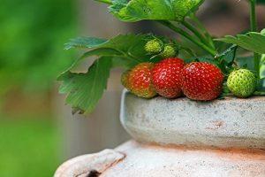 Best fertilizers for container garden