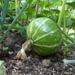 Tips for growing organic squash at home