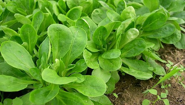 Growing mache cold hardy greens