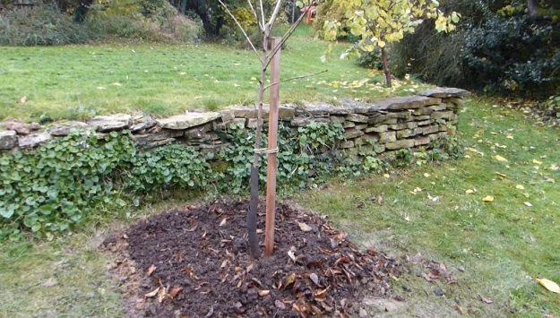 How to plant a bare-root fruit tree