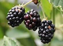 Easy berries for the backyard gardener