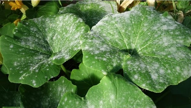 Homemade fungicide for controlling powdery mildew
