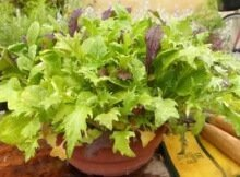 Growing salad greens in containers