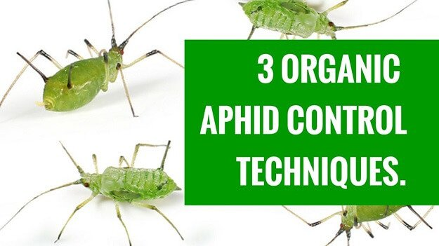 How to control aphids organically