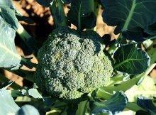 How to grow fall broccoli