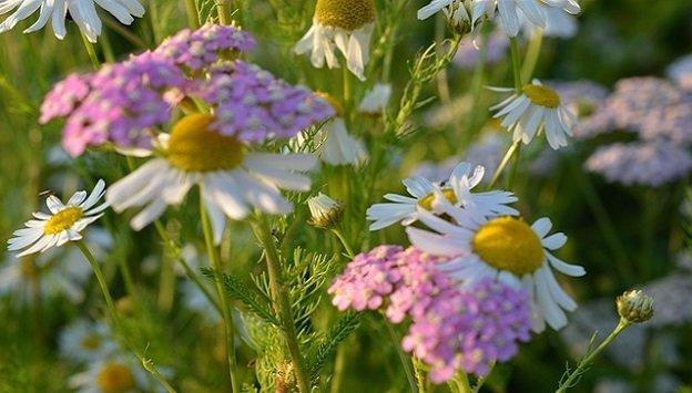 Medicinal herbs to grow in your garden