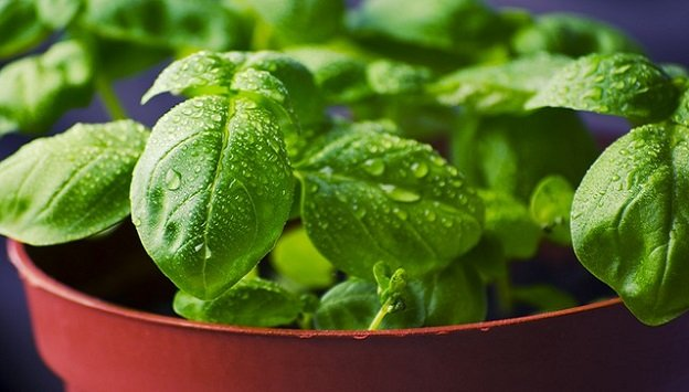 Culinary herbs for small spaces or containers