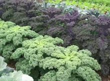 Tips for growing kale at home