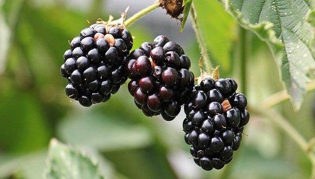 Easy berries for the backyard gardener