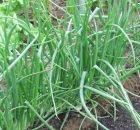 Growing spring onions