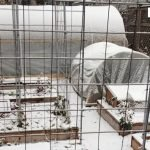 Winter gardening success in unheated hoop houses