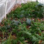 When to harvest greens in winter