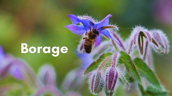 Borage