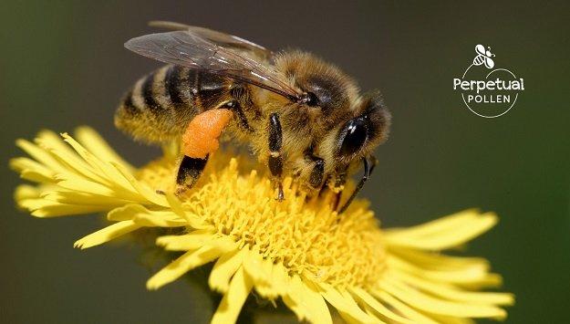 Bee-friendly garden flowers