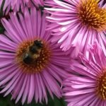 Attracting pollinating bees to your garden