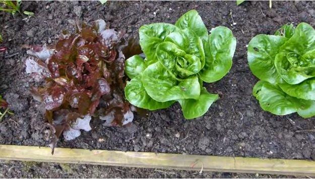 Best veggies for succession planting
