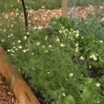 Homemade aphid spray with neem oil recipe